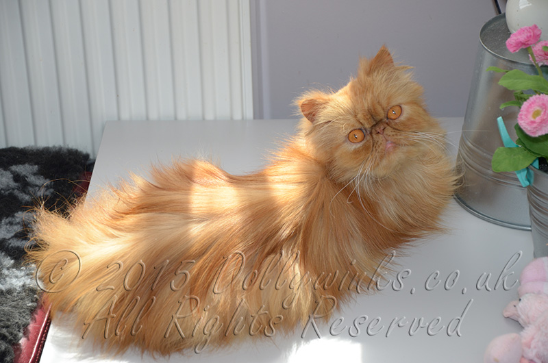 Dollywinks Red Persian